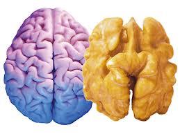 орех и мозг